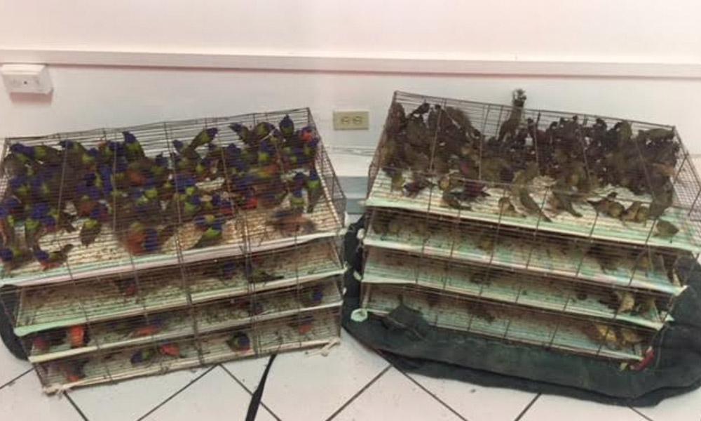 Aseguran a 767 aves canoras de reciente captura en autobús de Nayarit