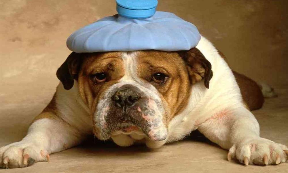 ¡Cuidado! Conoce las enfermedades que más padece tu mascota