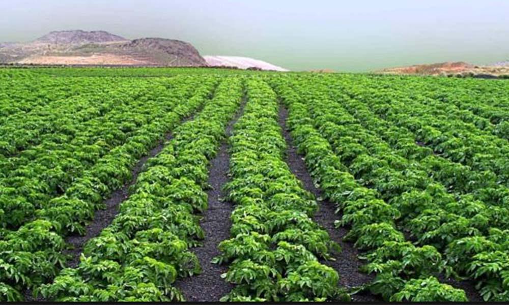 Cultivan productores de Baja California 3,448 hectáreas con espárrago