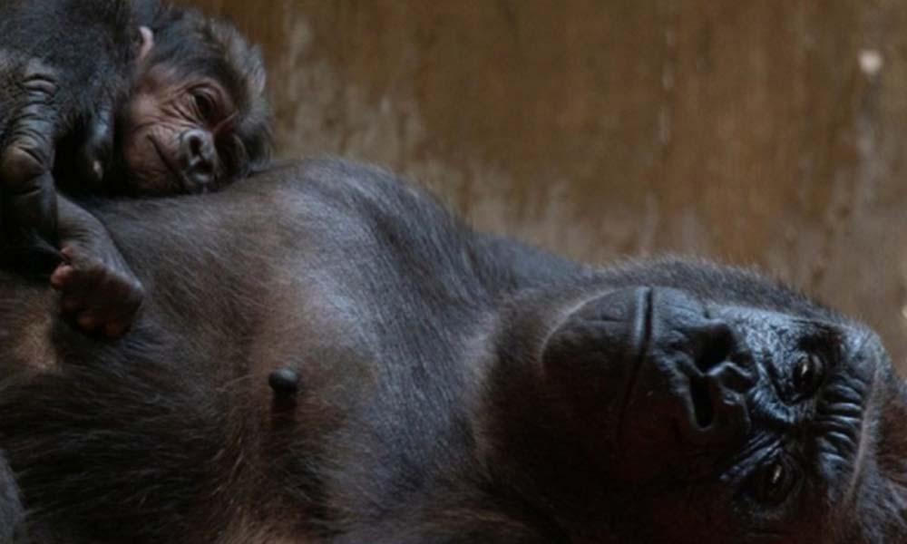 Estrenan bebé pareja de gorilas en peligro de extinción (VIDEO)