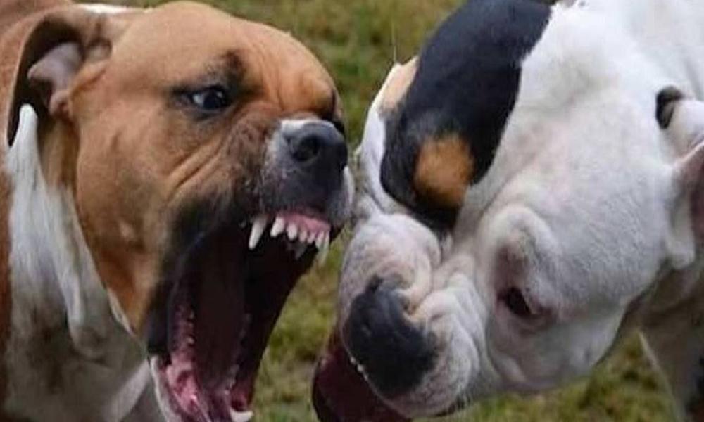 Resultado de imagen para dos perros pitbull