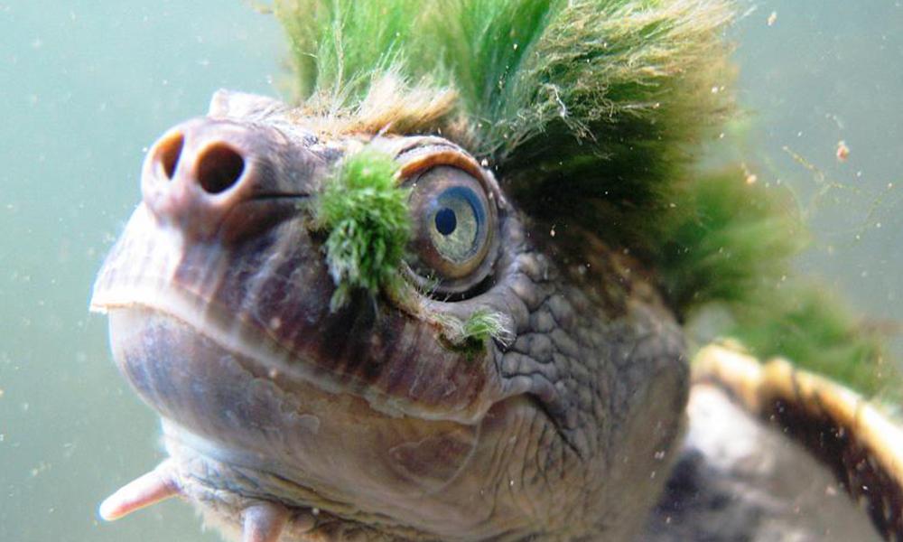Peligra especie de tortuga punk que respira por los genitales