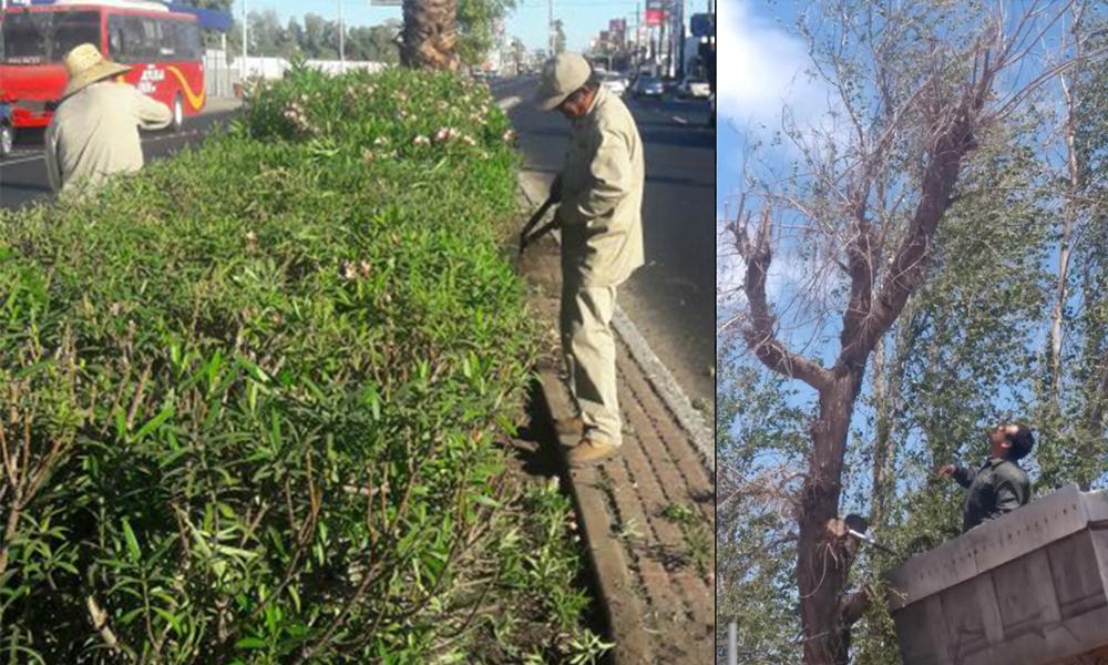 Recomiendan dar mantenimiento a árboles y arbustos en Mexicali