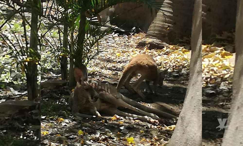 Supervisa PROFEPA atención a canguro rojo del ECOPARC, recapturado tras haberse fugado, en Colima