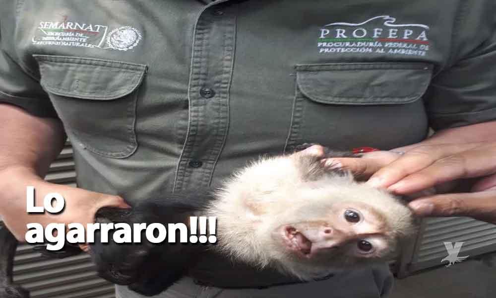 Después de 14 días capturan a mono capuchino