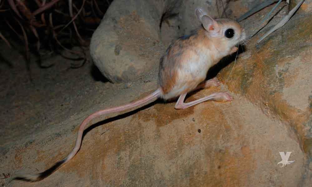 Roedor que se creía extinto reaparece en San Quintin