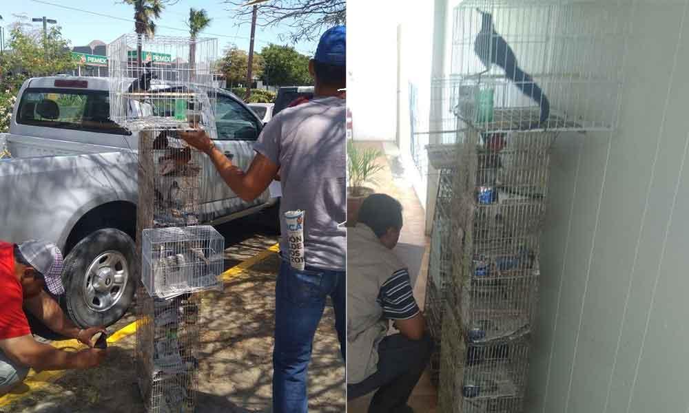 Asegura PROFEPA 28 ejemplares de aves canoras y de ornato en San Felipe