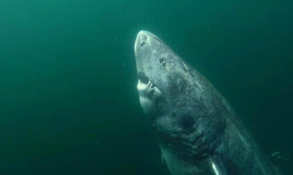 Hallan tiburón de 512 años; habita en aguas del Ártico