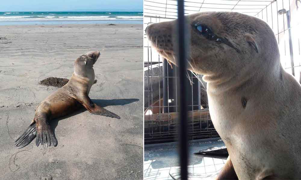 Atiende PROFEPA varamiento de dos lobos marinos en Rosarito