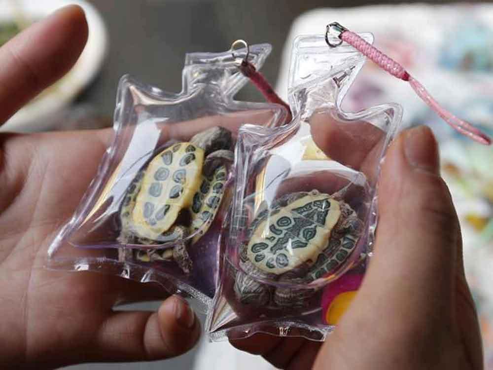 Máxima crueldad: Veden llaveros con tortugas vivas en China