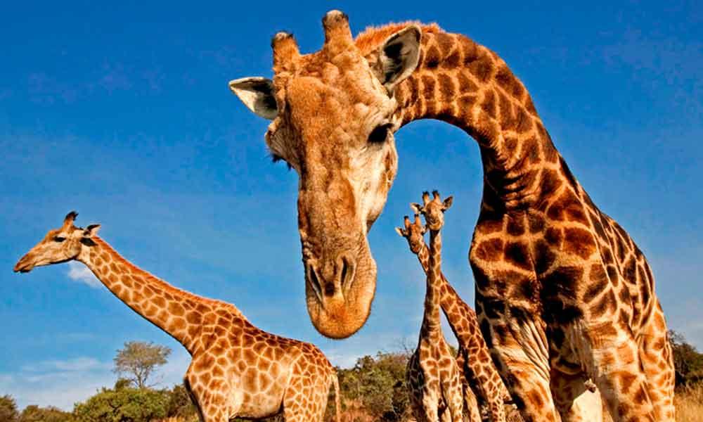 ¡Es oficial! La jirafa se suma a las especies en peligro de extinción