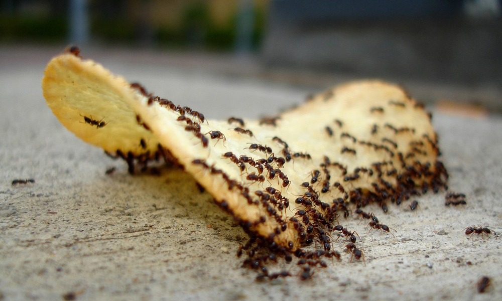 ¿Hormigas invadieron tu casa? Prueba estas recomendaciones