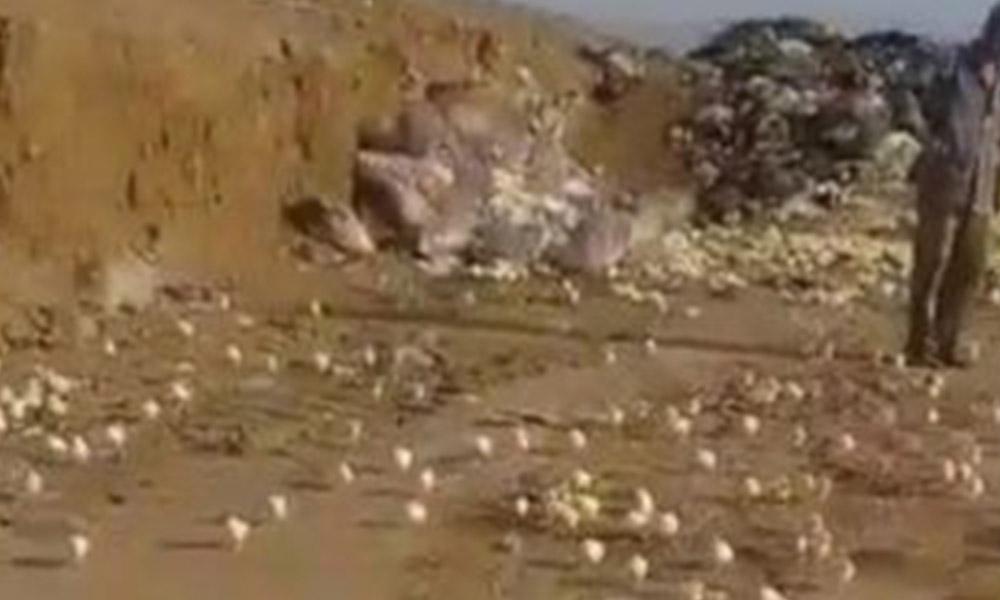 Insólito: Tiran huevos a la basura, nacen pollitos e invaden la ciudad