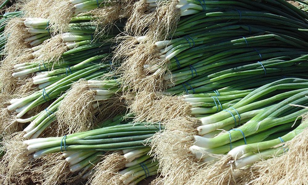 Sobresale la siembra de cebollín en el rubro de las hortalizas en Baja California: SAGARPA