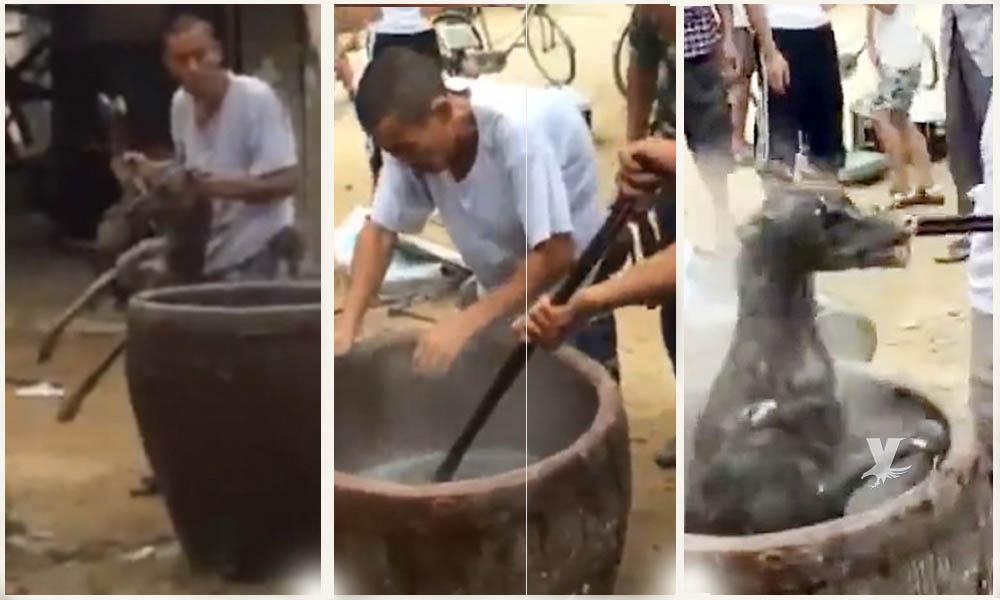 Terrible agonía de un perro galgo al ser cocinado vivo en China (VIDEO)