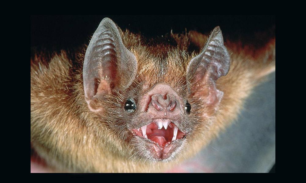 Murciélago con rabia ataca a mujer