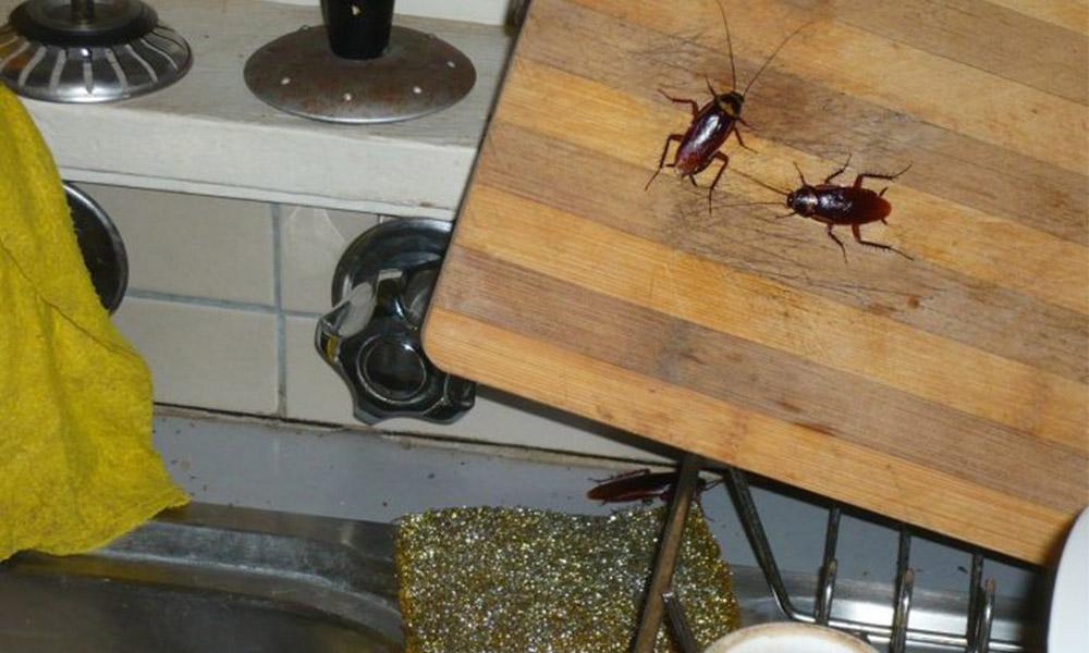 Advierte IMSS sobre la proliferación de las cucarachas por el calor