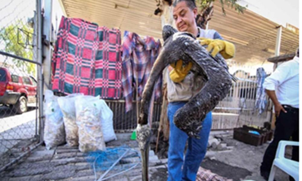 Profepa atiende a pelícanos deshidratados por golpe de calor en Mexicali
