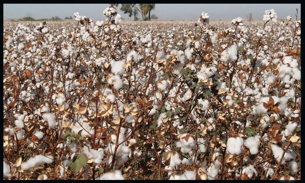 """Continúa el monitoreo de la plaga del """"Pïojo Harinoso"""" en el cultivo algodonero en Mexicali"""