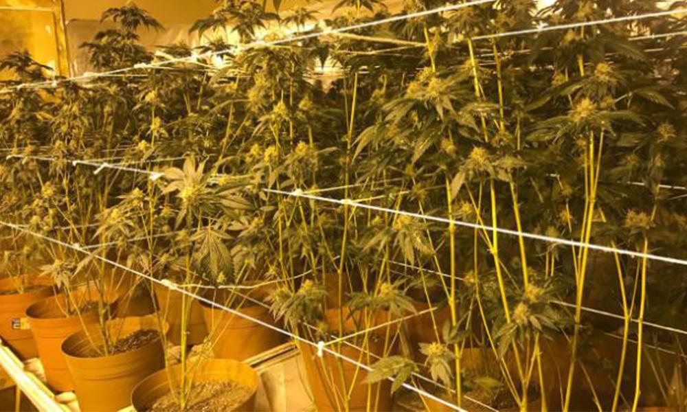 Descubren invernadero de marihuana tras cateo de domicilio en Tijuana