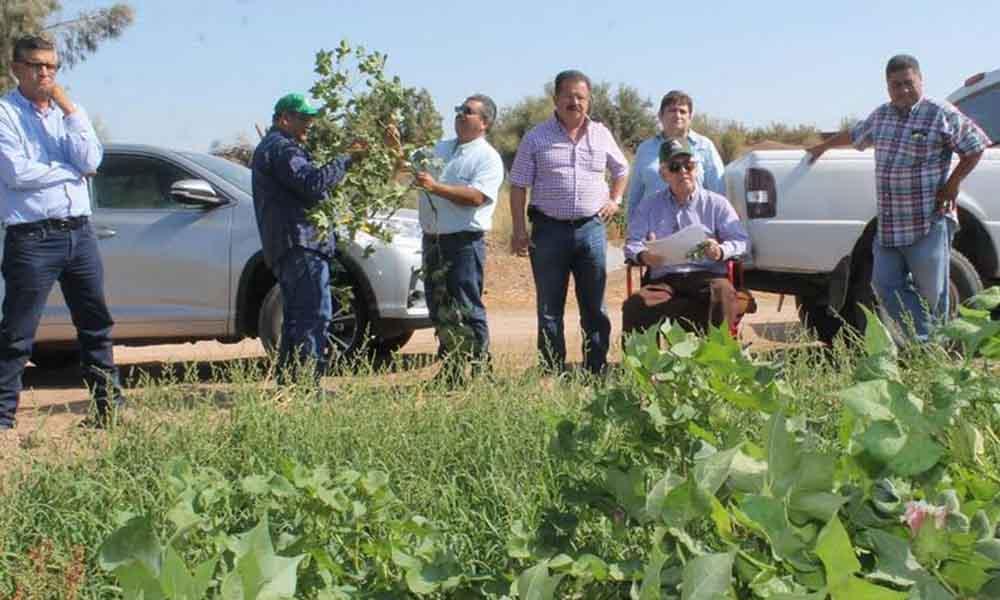 Inspecciona SAGARPA el desarrollo del cultivo algodonero en el Valle de Mexicali