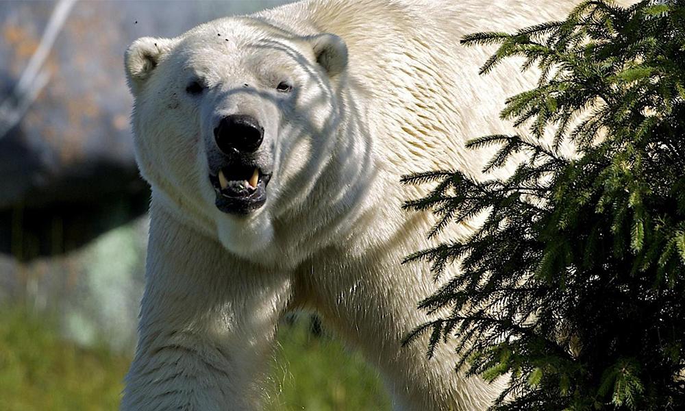 Muere hombre tras pelear con un oso por salvar a sus tres hijos