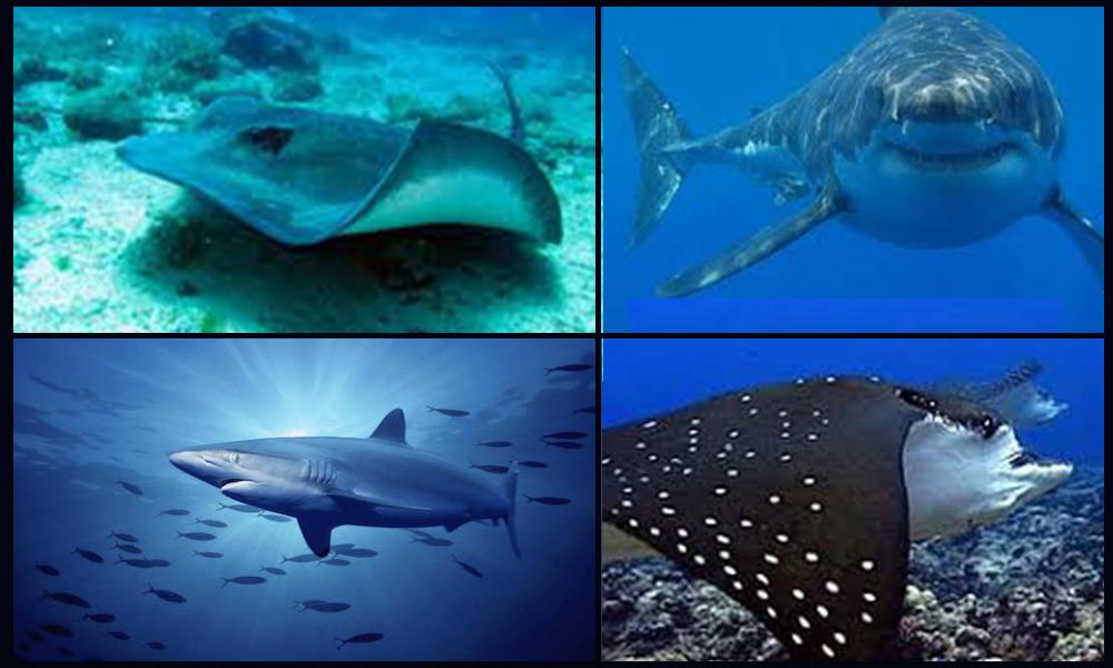 Participan en el proyecto para proteger y sustentablemente a los Tiburones y Rayas