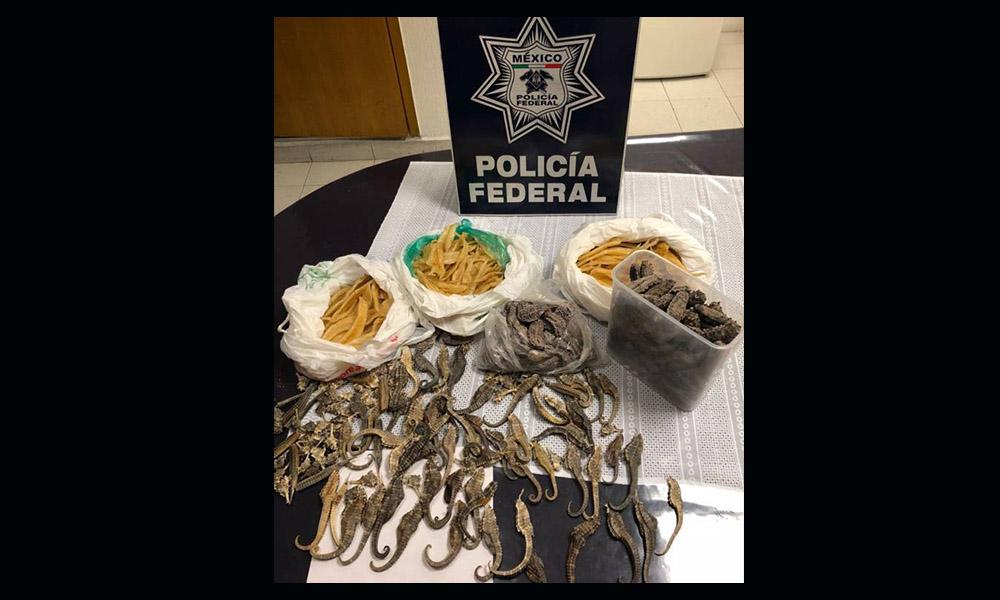 Pretendía exportar ilegalmente caballitos de mar, pepinos de mar y vejigas natatorias de peces, es detenido