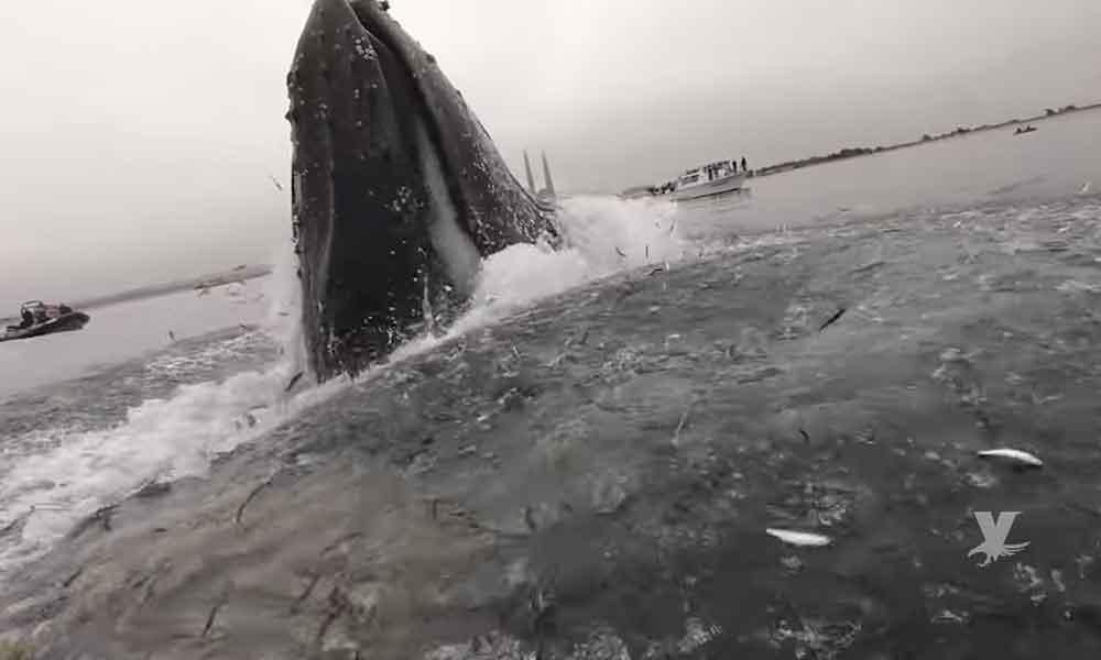 (VIDEO) Ballena emerge del fondo del mar en California, cientos de peces brincan de su boca intentando no ser comidos