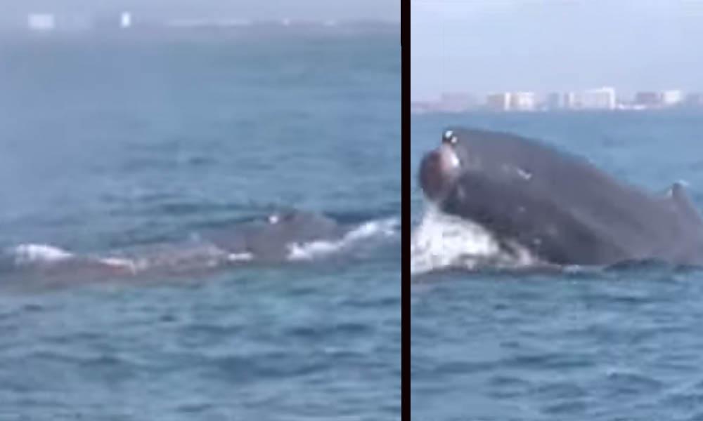 ¡Insólito! Captan ballena jorobada nadando sin cola (VIDEO)