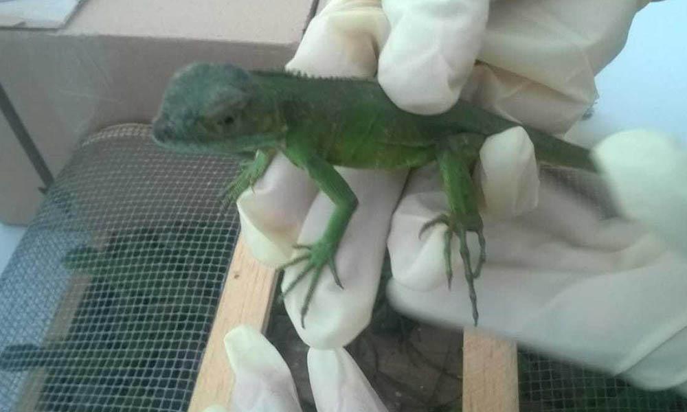Aseguran a 80 ejemplares de iguana verde en el Aeropuerto Internacional de Tijuana
