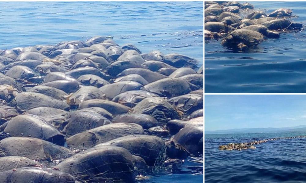 Mueren atrapadas en redes prohibidas más de 300 tortugas Golfinas