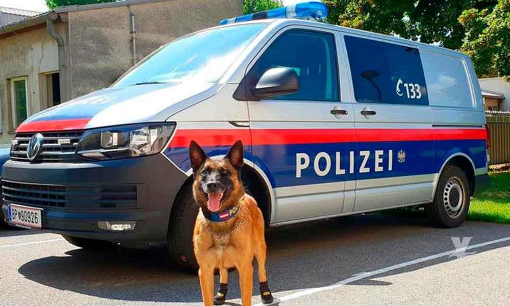 Perros policías utilizan zapatos para protegerse de las altas temperaturas en Suiza