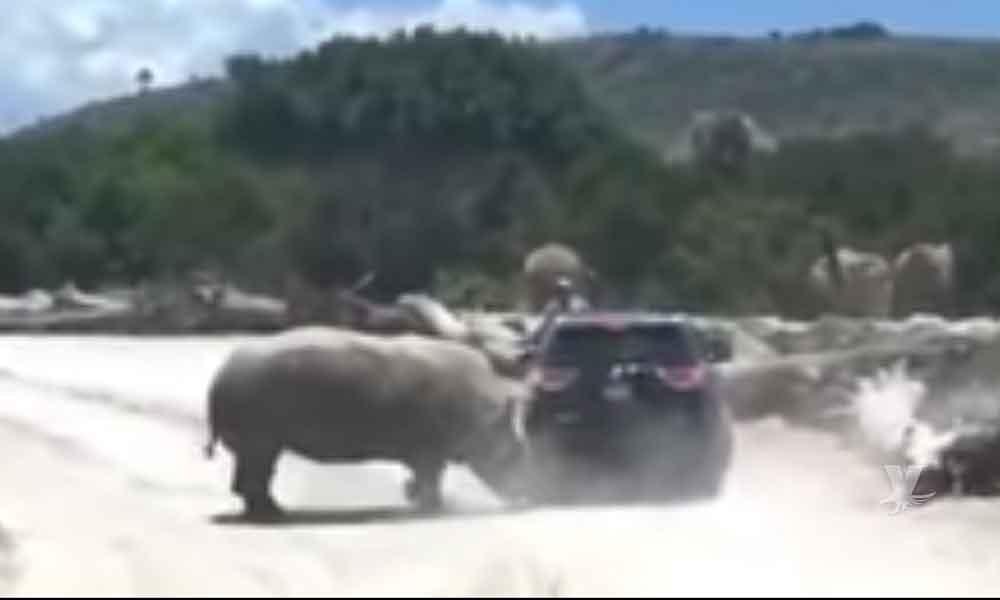 (VIDEO) Rinoceronte ataca una camioneta en Africam Safari en Puebla