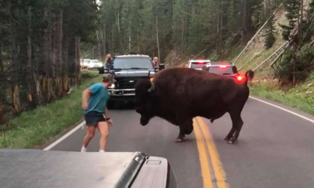 Sentencian hombre tras hostigar a un bisonte en Estados Unidos (VIDEO)