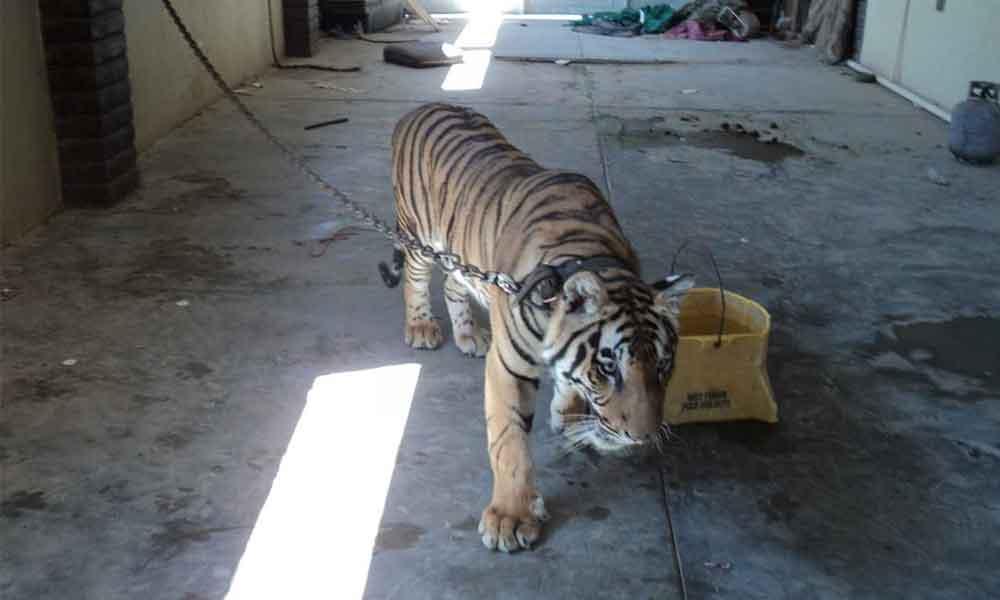 Rescatan a Tigre de Bengala en Mexicali, se encontraba atado en el patio de una vivienda