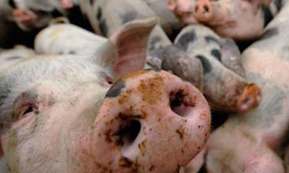 Alerta en México, Canadá y EEUU por Brote de Peste Porcina Africana