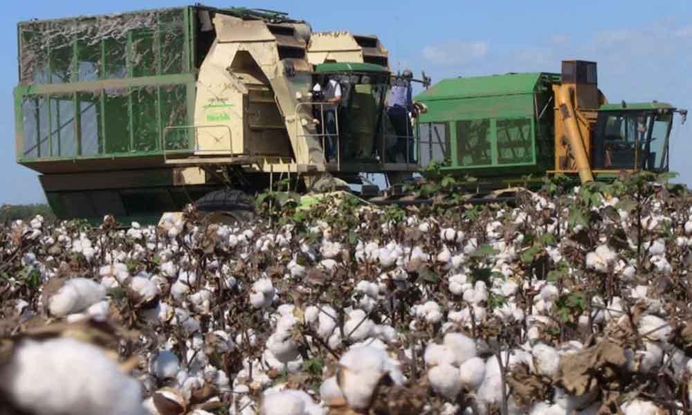 Avanza producción algodonera en Baja California