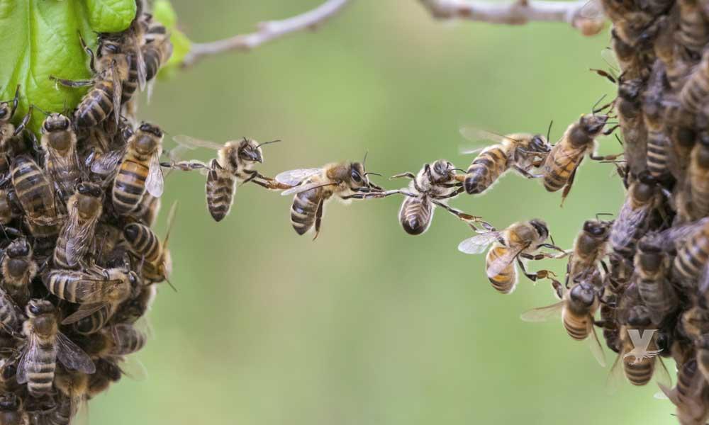 Veneno de abeja es utilizado para la eliminación de estrías
