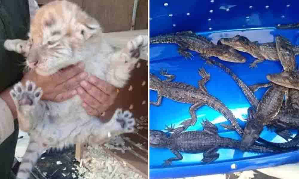 Aseguran un tigre de bengala y ocho cocodrilos de pantano en Tijuana