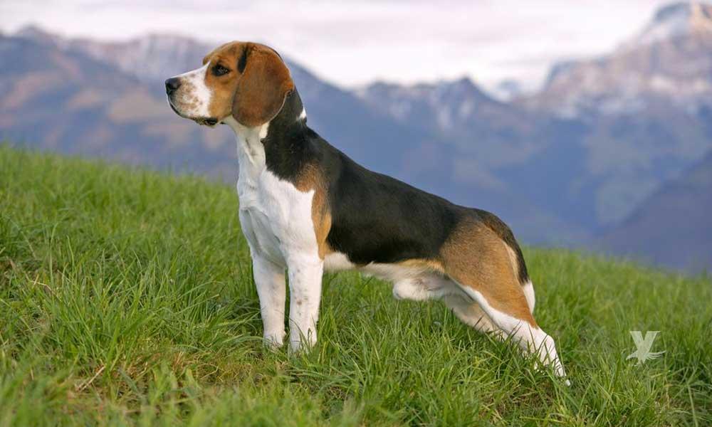 (VIDEO) Beagle la raza ideal de perro para sus hogares