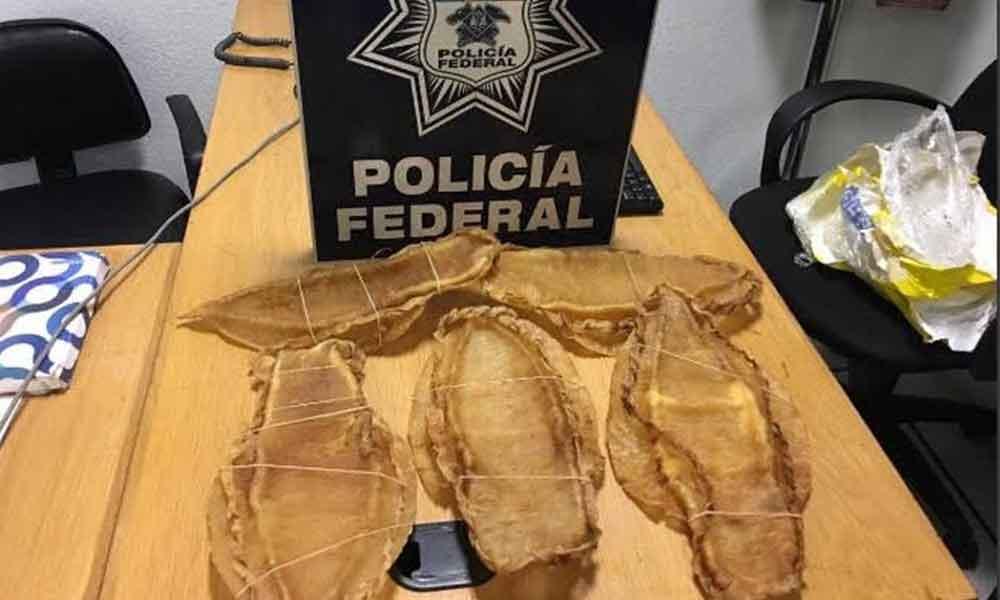Detienen a pasajero de origen chino que transportaba buches de Totoaba en el Aeropuerto Internacional de la Ciudad de México
