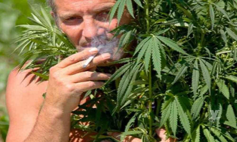 """Canadá busca """"catadores"""" para fumar marihuana, pagan 50 dólares la hora"""