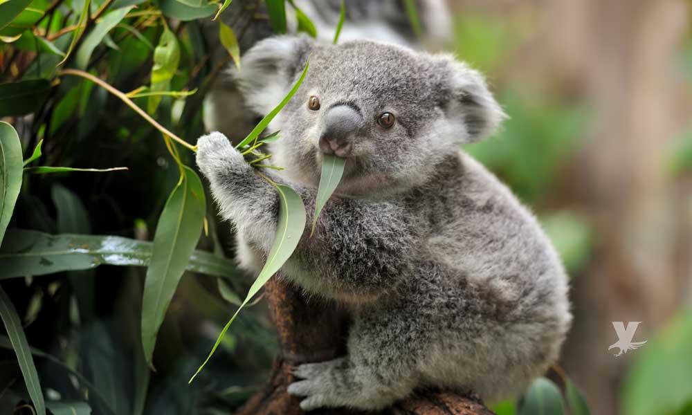 Destrucción de hábitat podría extinguir a los koalas en algunos años