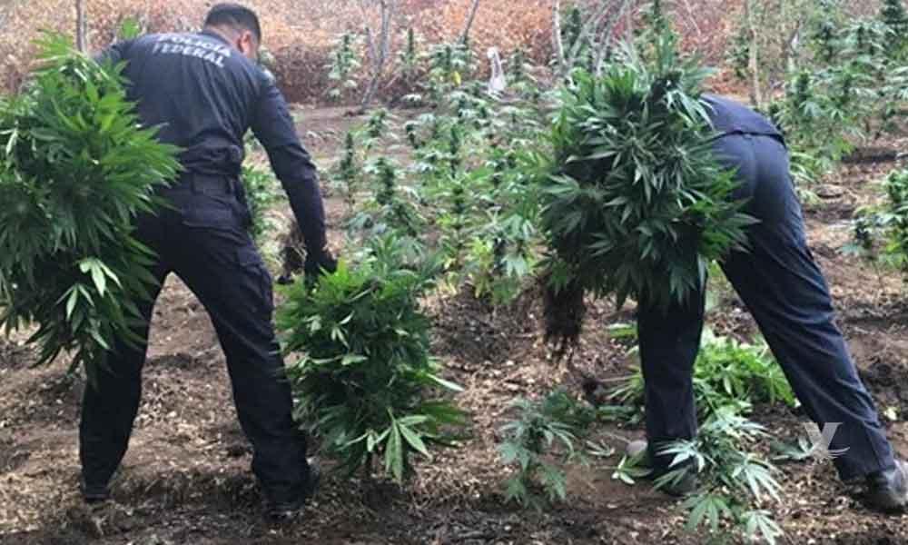 Policía Federal encuentra y destruye 72 toneladas de marihuana en un plantío localizado en Tecate