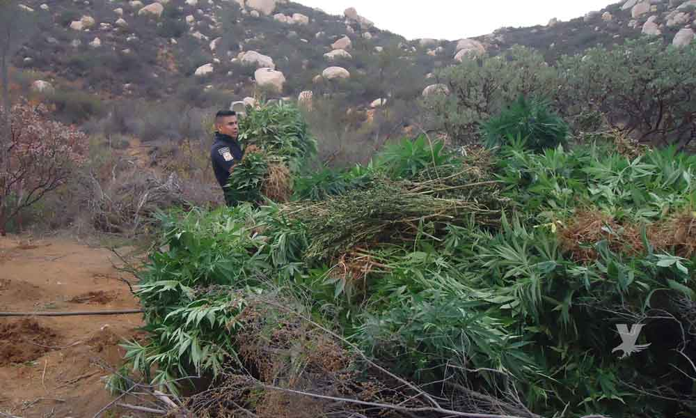 Ejercito Mexicano encuentra y destruye plantío de marihuana cerca de Valle de Guadalupe