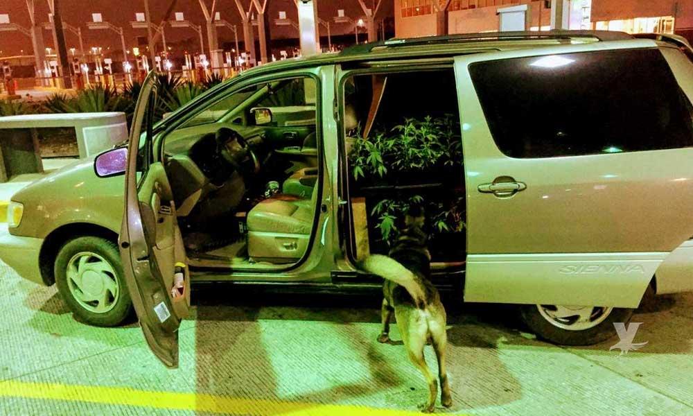 """Hombre es detenido con 288 plantas de marihuana en garita """"El Chaparral"""""""