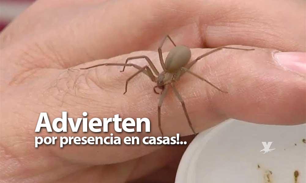 ¡Cuidado! En estos meses incrementan las mordeduras de viuda negra y araña violinista en Baja California