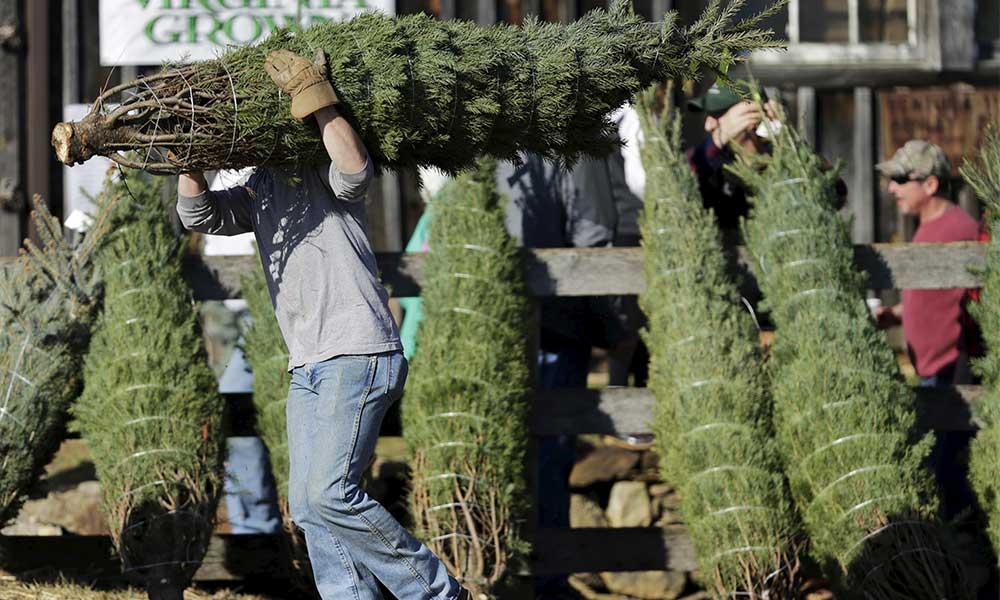 Decomisan más de 2 mil árboles de navidad por plaga en Baja California