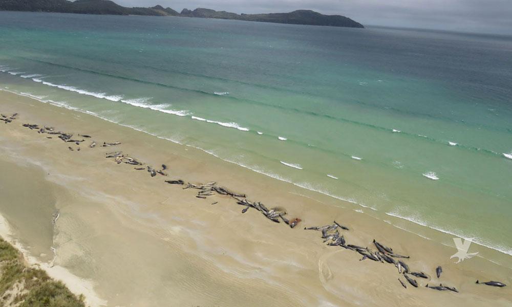Encuentran 145 ballenas muertas en una playa de Nueva Zelanda